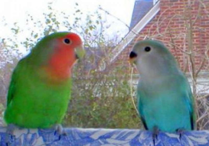 <span style='color:#780948'>ARCHIVED</span> - Illegal lovebirds blamed for outbreak of pneumonia in Murcia