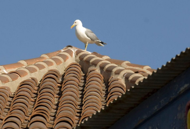 <span style='color:#780948'>ARCHIVED</span> - Annual seagull cull begins in Cartagena