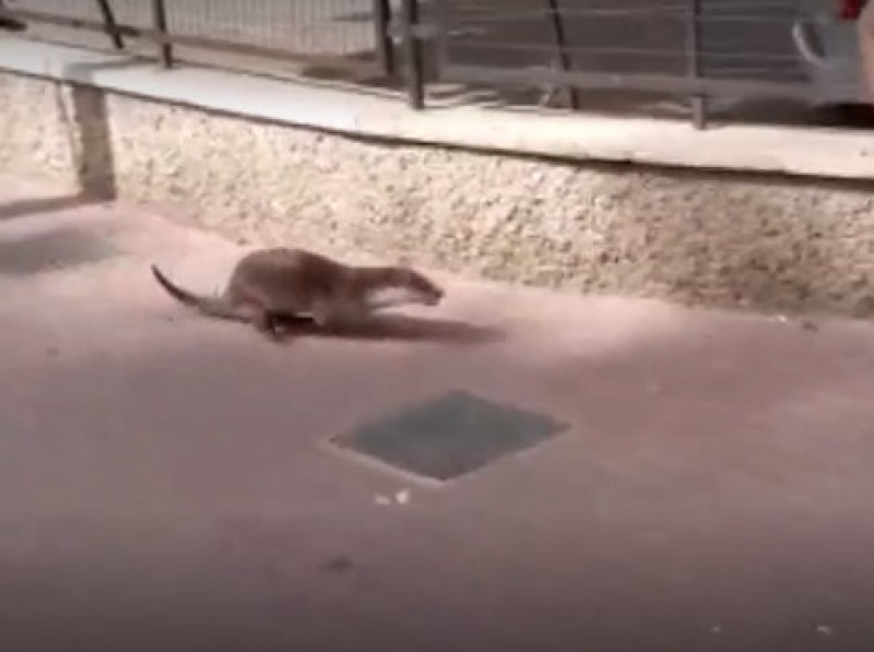 <span style='color:#780948'>ARCHIVED</span> - Otter on the streets of Murcia!