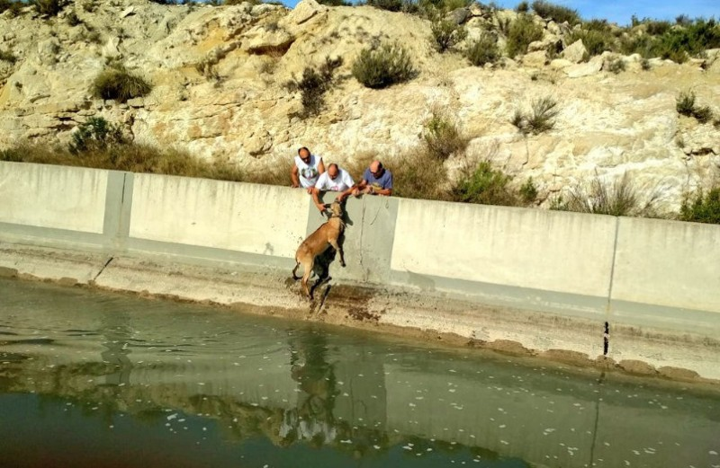 Barbary sheep rescued from the Tajo-Segura water supply canal
