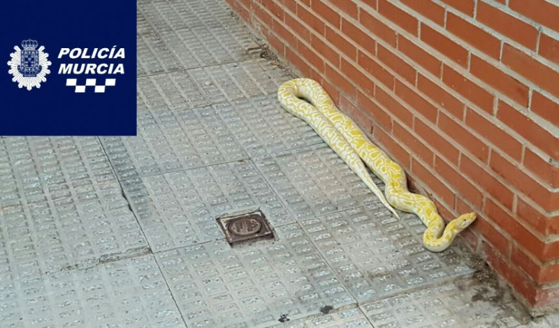 <span style='color:#780948'>ARCHIVED</span> - 2.5-metre albino python captured on the street in Guadalupe