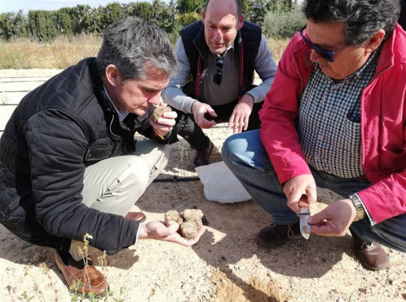 Murcia government studies the viability of desert truffle cultivation
