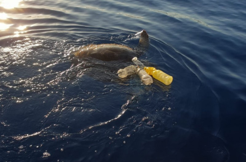 <span style='color:#780948'>ARCHIVED</span> - Sea turtle rescued off the coast of Mazarrón