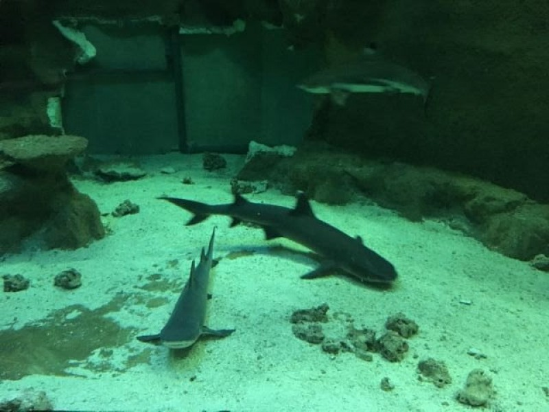 Faustino the blacktip reef shark moves from Murcia to the Oceanogràfic in Valencia
