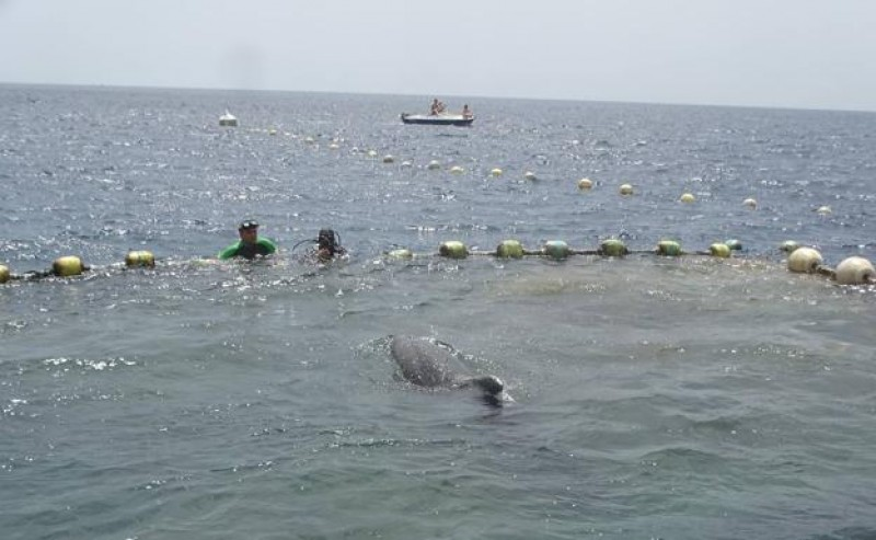 "<span style='color:#780948'>ARCHIVED</span> - Three bottlenose dolphins freed from the ""almadraba"" fishing nets in la Azohía"