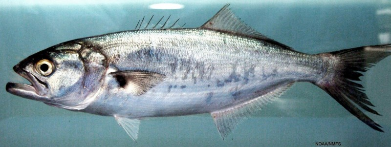 <span style='color:#780948'>ARCHIVED</span> - The fish which attacked a woman in Alicante is common all along the Costa Cálida