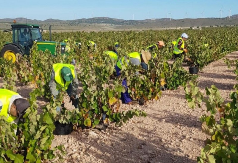 <span style='color:#780948'>ARCHIVED</span> - Jumilla wineries anticipate top quality 2019 grape harvest