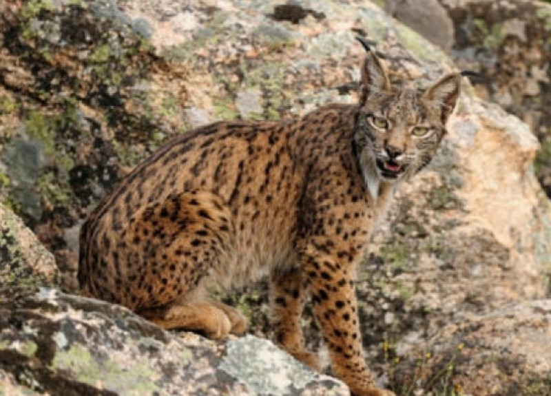 <span style='color:#780948'>ARCHIVED</span> - 4 Iberian lynx killed by hunters in Toledo