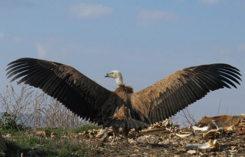 Livestock carcass feasts to be supplied to the flourishing vulture population of Murcia