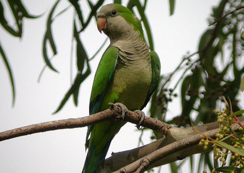 <span style='color:#780948'>ARCHIVED</span> - Madrid declares war on Argentinian monk parakeets