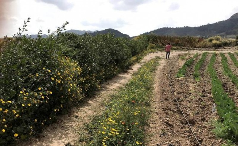 <span style='color:#780948'>ARCHIVED</span> - Hedgerow research continues as measures are sought to reduce flooding and protect the Mar Menor