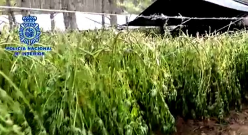 <span style='color:#780948'>ARCHIVED</span> - Colombian-style marijuana plantations found in the mountains of Cuenca
