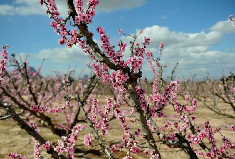 <span style='color:#780948'>ARCHIVED</span> - Murcia fruit trees in spring blossom as warm October weather misleads them