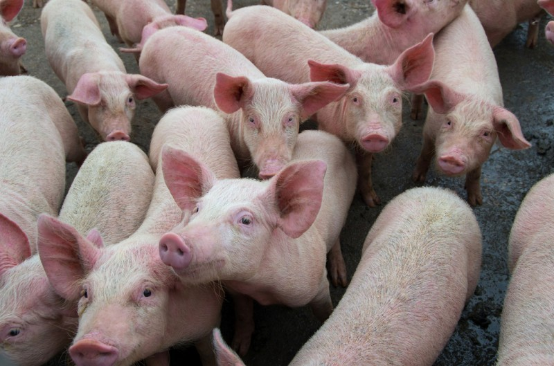 <span style='color:#780948'>ARCHIVED</span> - Lorca residents could take macro-pig farm protest to the European Court of Human Rights