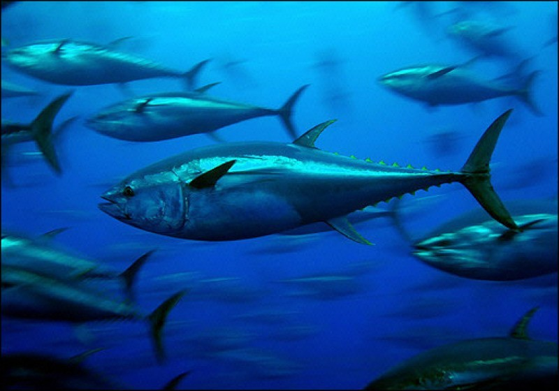 <span style='color:#780948'>ARCHIVED</span> - Major new tuna farm planned off the north of La Manga
