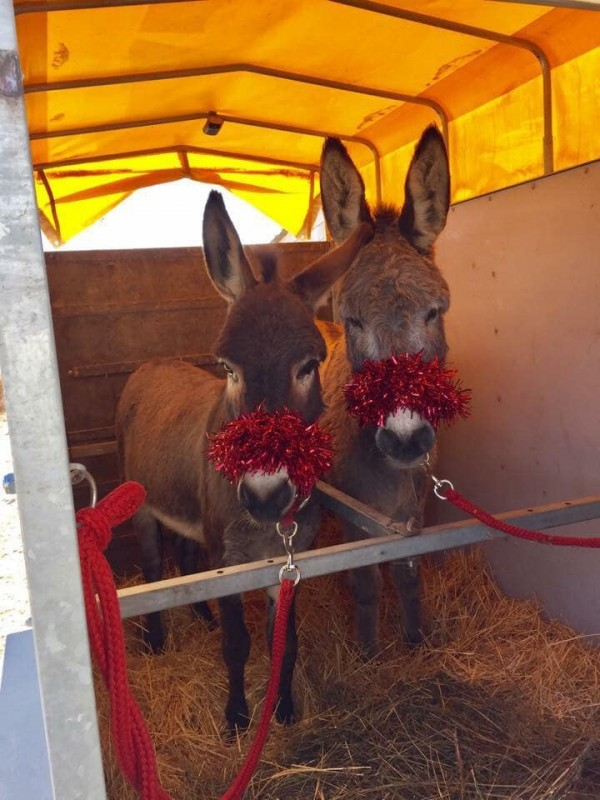 Monday 16th December Mulled wine, mince pies and a donkey on Camposol