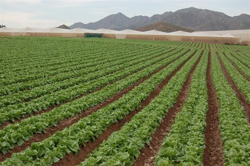 <span style='color:#780948'>ARCHIVED</span> - Murcia is Spain's leading lettuce producer