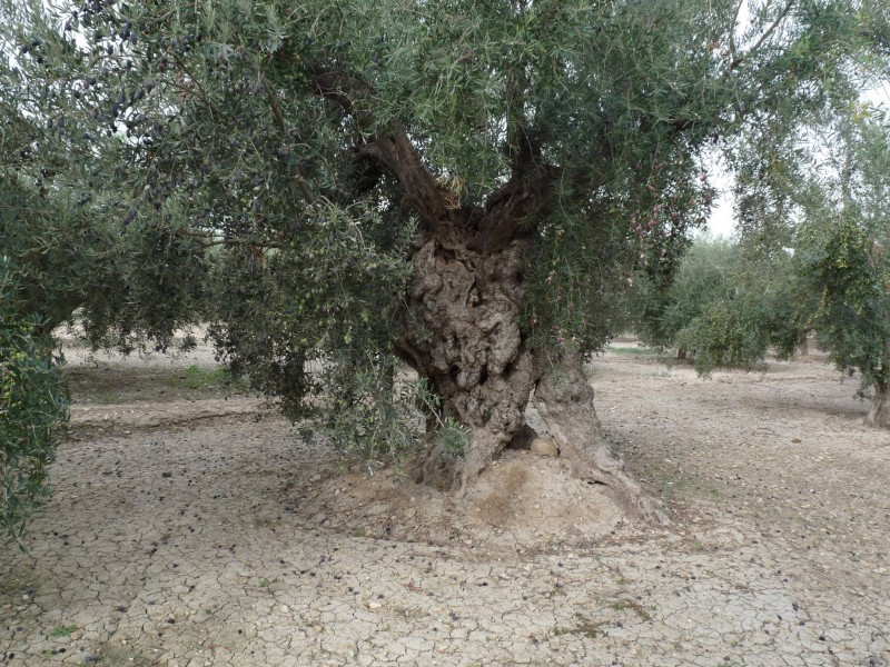 28th March FREE guided tour of Abanilla Olive oil mill