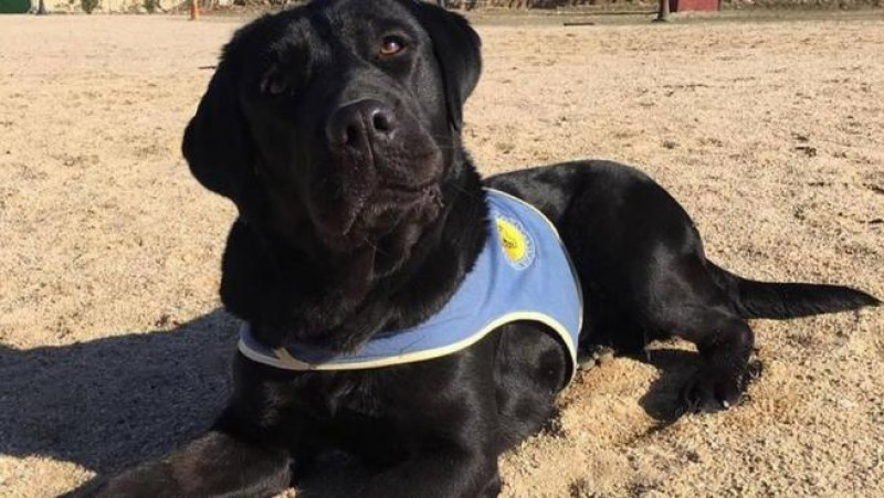 <span style='color:#780948'>ARCHIVED</span> - Pocahontas the Labrador rescued after mystery kidnap-robbery ordeal