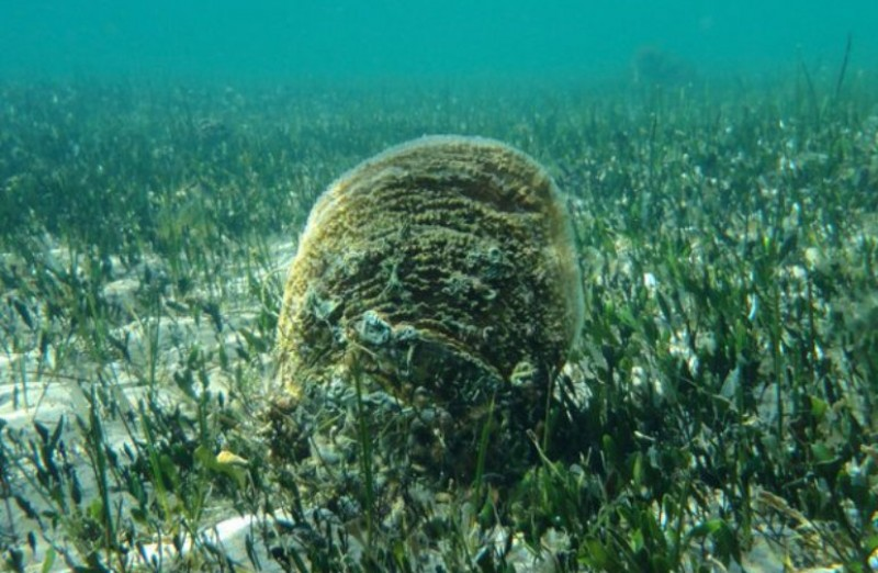 <span style='color:#780948'>ARCHIVED</span> - Giant fan mussels under threat in the Mar Menor as salinity falls