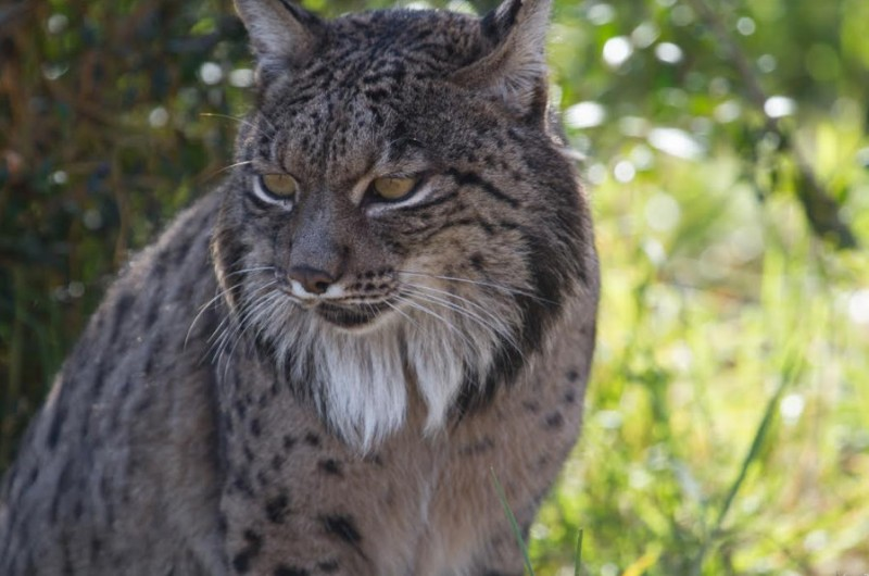 Rare Iberian lynx adapting to life at Terra Natura wildlife park
