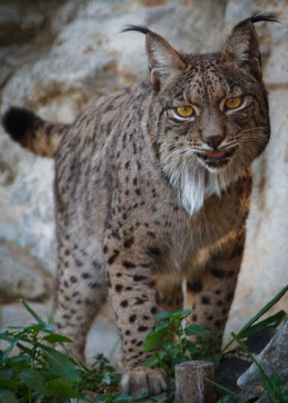 <span style='color:#780948'>ARCHIVED</span> - Rare Iberian lynx adapting to life at Terra Natura wildlife park