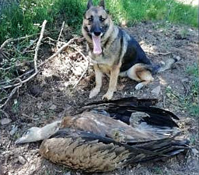 28 under investigation across Spain for using poisoned bait and illegal hunting traps