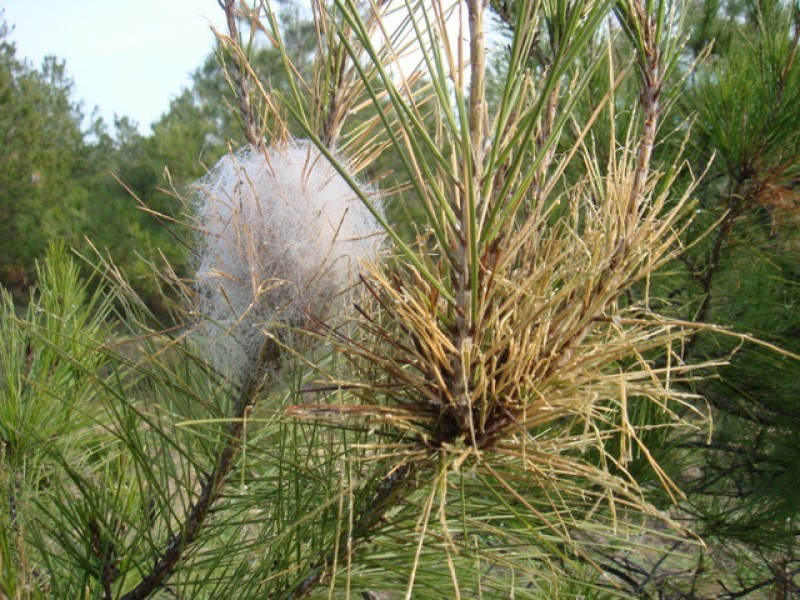 Murcia close to maximum alert status for pine processionary caterpillars