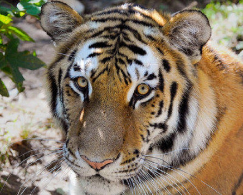 <span style='color:#780948'>ARCHIVED</span> - Tiger tests positive for coronavirus