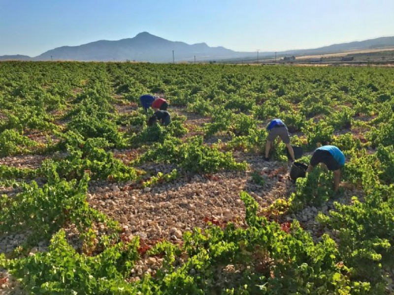 <span style='color:#780948'>ARCHIVED</span> - Warm weather brings forward the grape harvest in Jumilla