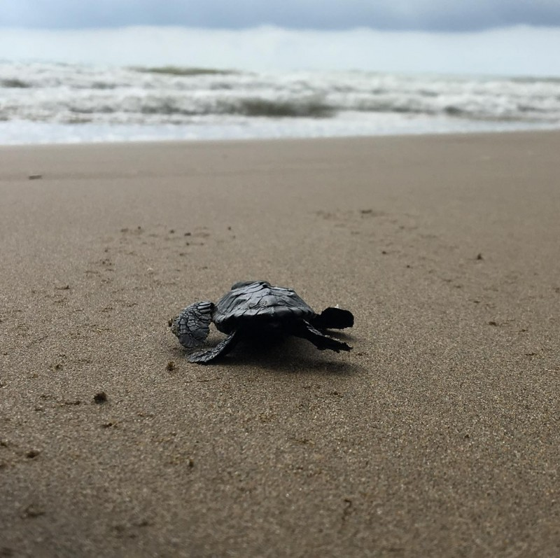 <span style='color:#780948'>ARCHIVED</span> - Excitement as tiny baby loggerhead turtle is found on Calnegre beach