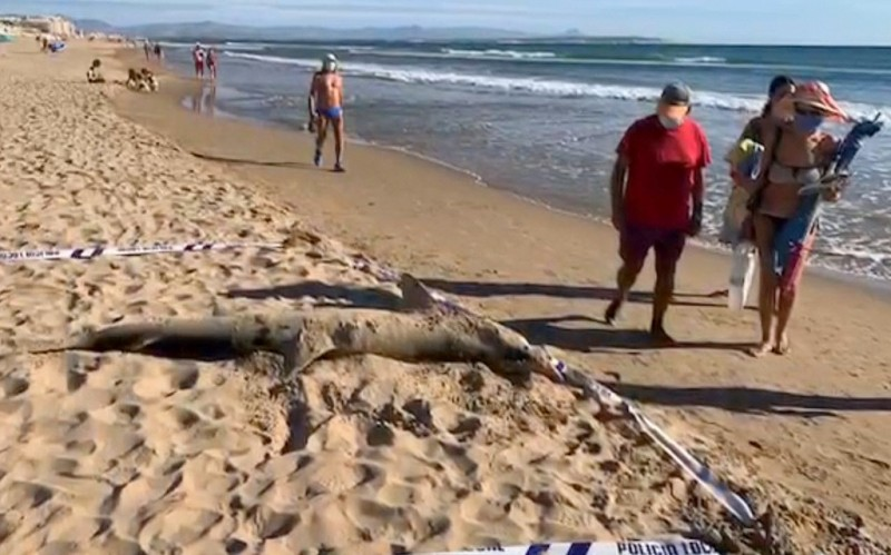 <span style='color:#780948'>ARCHIVED</span> - 270kg shark washed up on Guardamar beach in Alicante province