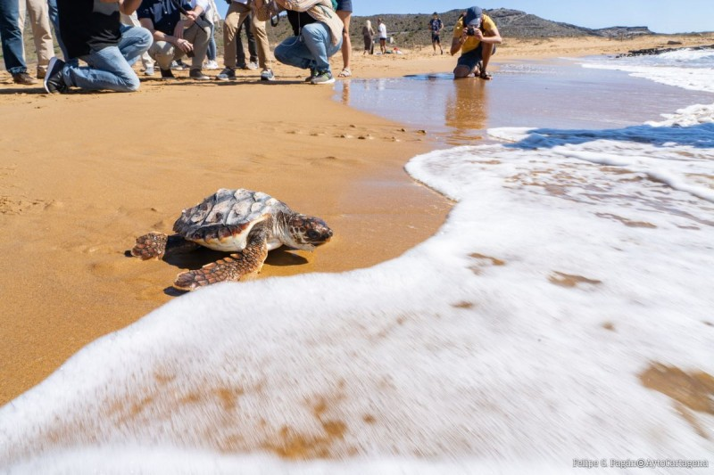 <span style='color:#780948'>ARCHIVED</span> - Ten of the first turtles to be born in Murcia region for 100 years released on Monday