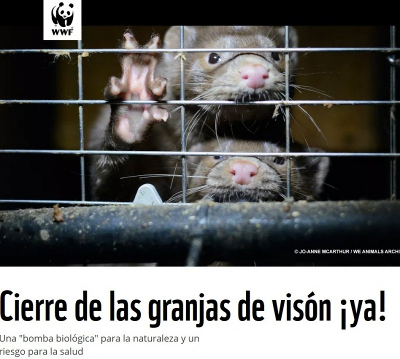 <span style='color:#780948'>ARCHIVED</span> - 750,000 farmed mink in Spain face possible cull as mutant Covid transmission is confirmed