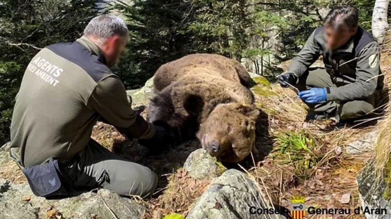 <span style='color:#780948'>ARCHIVED</span> - Environmental agent detained as investigation into the death of wild bear in the Catalan Pyrenees continues