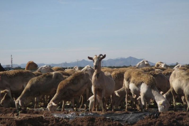 <span style='color:#780948'>ARCHIVED</span> - Cartagena researchers find microplastics in intensively farmed sheep in Murcia Region