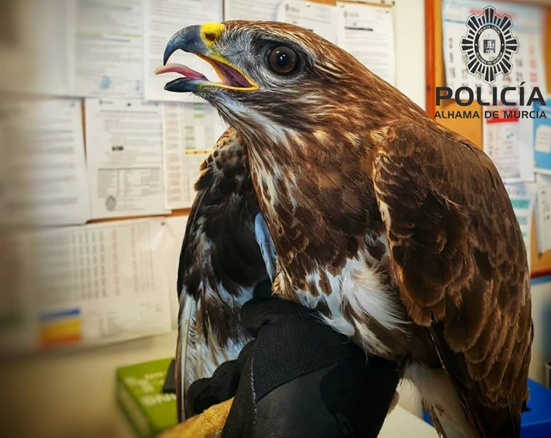 <span style='color:#780948'>ARCHIVED</span> - Injured buzzard rescued in Alhama de Murcia
