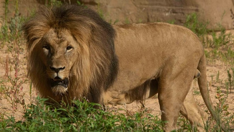 Coronavirus: Lions at Barcelona zoo contract COVID-19