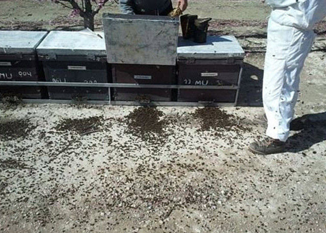 <span style='color:#780948'>ARCHIVED</span> - Millions of bees dead in Cieza and Calasparra