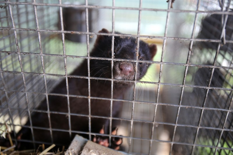 <span style='color:#780948'>ARCHIVED</span> - 3,100 mink from Galician farm affected by Covid-19 gassed at the weekend