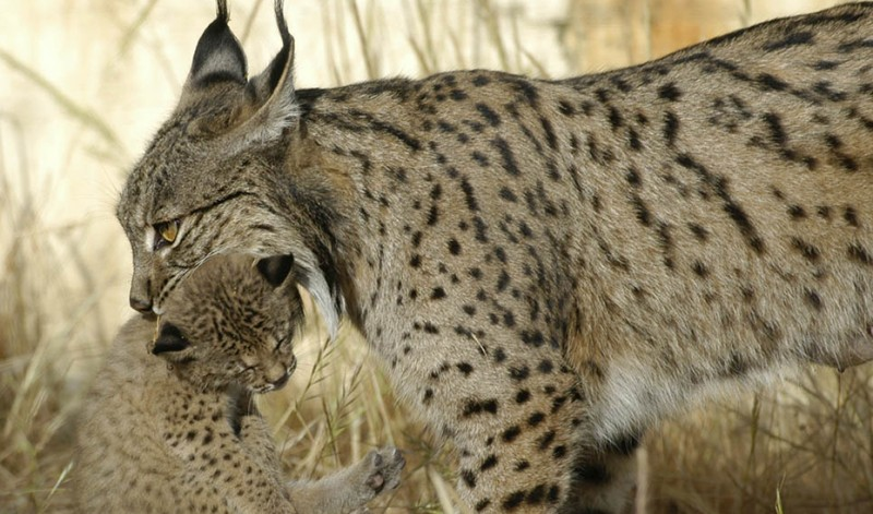 Two Iberian lynx bred in captivity released into Jaén natural park