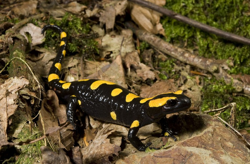 Rare long-snouted salamander spotted in the Alhambra after 40 year-long absence