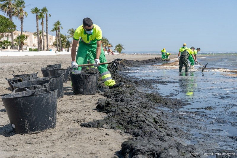 <span style='color:#780948'>ARCHIVED</span> - Operatives cleaning again; decomposing seaweed causing complaints on the shores of the Mar Menor