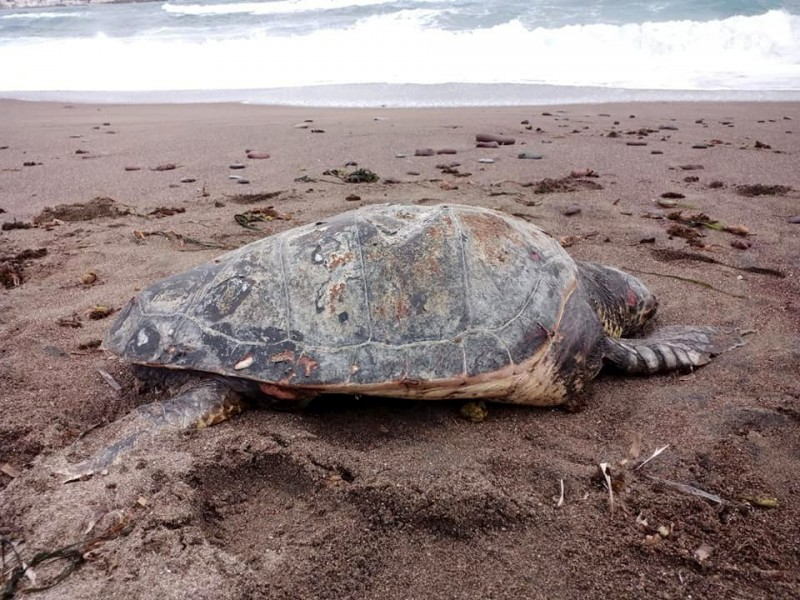 <span style='color:#780948'>ARCHIVED</span> - Body of large loggerhead turtle found on a beach in Níjar, Almeria