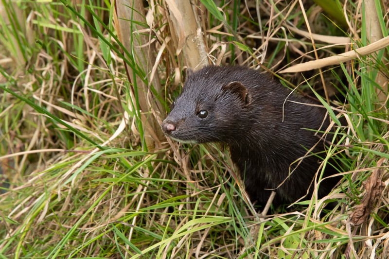 <span style='color:#780948'>ARCHIVED</span> - Coronavirus found in two dead wild mink in the province of Castellón, Valencia region