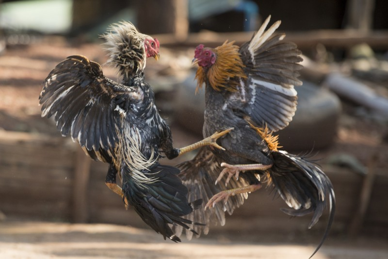Police in Cartagena put an end to illegal cockfights at animal feed shop in Molinos Marfagones