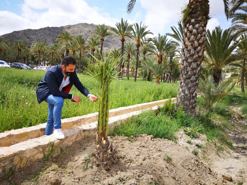 <span style='color:#780948'>ARCHIVED</span> -  Palm tree plantation resumes in Palmeral de Orihuela