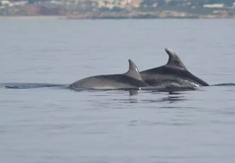 Two bottlenose dolphins released from fishing nets in La Azohía
