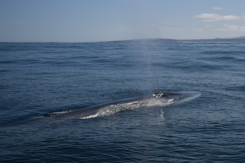 CaboRorcual project in Denia aims to follow the fin whale as it travels along the Mediterranean coast