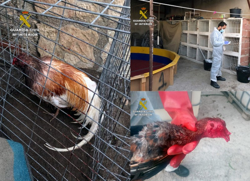 Cockfighting arena and badly injured birds found in Totana